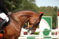 Portrait of sport brown horse in tack Stock Photo
