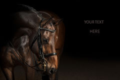 Portrait of a sport dressage horse Stock Images