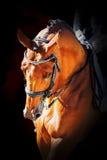 Portrait of a sport dressage horse Stock Photos