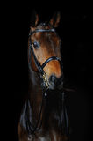 Portrait of the sport horse. Portrait of the bay sport horse stock photography