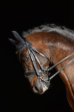 Portrait of the sport horse. Portrait of the sport dressage horse Royalty Free Stock Image