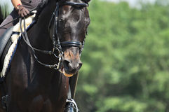 Portrait of sport horse Royalty Free Stock Image