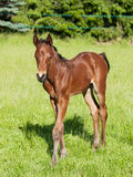 Portrait of sport horse foal Royalty Free Stock Photography