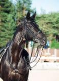 Portrait of sportive dressage black stallion.  royalty free stock photos
