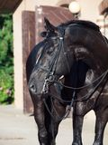 Portrait of sportive dressage black stallion posing at stable ba. Ckground royalty free stock photos