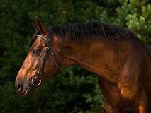 Portrait of the sportive horse Stock Image