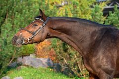 Portrait of sportive warmblood horse at pine trees background