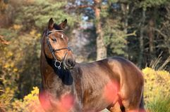 Portrait of sportive warmblood horse at pine trees background. a