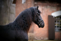 Portrait of a sports black horse. Royalty Free Stock Images