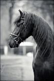 Portrait of a sports black stallion. Royalty Free Stock Photography