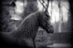 Portrait of a sports black stallion. Royalty Free Stock Image