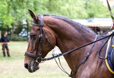 Portrait of a sports brown horse.  royalty free stock photo