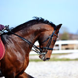 Portrait of a sports brown horse. Stock Images