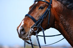 Portrait of a sports brown horse. Royalty Free Stock Images