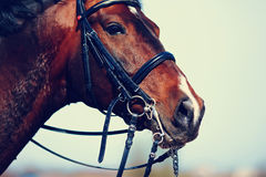 Portrait of a sports brown horse. Royalty Free Stock Photos