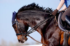Portrait of a sports horse. Under a saddle against the sky Stock Photo