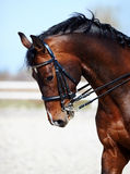 Portrait of a sports horse. Stock Image