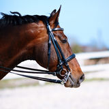 Portrait of a sports horse. Stock Photography