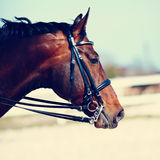Portrait of a sports horse. Stock Photo