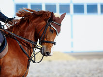 Portrait of a sports horse. Royalty Free Stock Image