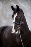 Portrait of a sports horse in the winter. Portrait of a sports stallion. Thoroughbred horse. Beautiful horse stock photo