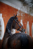 Portrait of a sports horse in the winter. Stock Photos