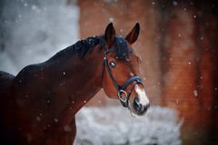 Portrait of a sports horse in the winter. Portrait of a sports stallion. Thoroughbred horse. Beautiful horse royalty free stock photography