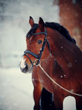 Portrait of a sports horse in the winter. Portrait of a sports stallion. Thoroughbred horse. Beautiful horse stock photography