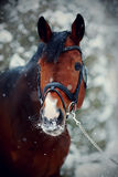 Portrait of a sports horse in the winter. Portrait of a sports stallion. Thoroughbred horse. Beautiful horse stock photos