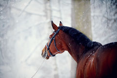 Portrait of a sports horse in the winter. Portrait of a sports stallion. Thoroughbred horse. Beautiful horse royalty free stock photo