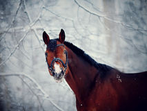 Portrait of a sports horse in the winter. Portrait of a sports stallion. Thoroughbred horse. Beautiful horse stock images