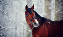 Portrait of a sports horse in the winter. Stock Photography