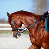 Portrait of a sports red horse. Royalty Free Stock Photo