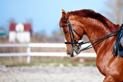 Portrait of a sports red horse. Stock Photos