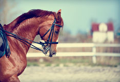 Portrait of a sports red horse. Royalty Free Stock Images