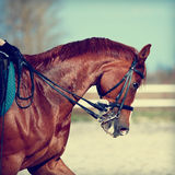 Portrait of a sports red horse. Stock Photography