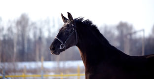 Portrait of a sports stallion. Royalty Free Stock Photo
