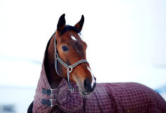 Portrait of a sports stallion in a body cloth. Royalty Free Stock Photography