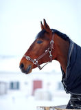 Portrait of a sports stallion in a body cloth. Stock Photos