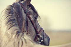 Portrait of a sports stallion Royalty Free Stock Photos