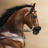 Portrait of a sports stallion in a hackamore. Stock Image