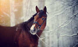 Portrait of a sports stallion. Royalty Free Stock Images