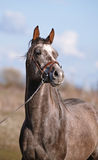 Portrait of a sports thoroughbred horse. Royalty Free Stock Images