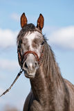 Portrait of a sports thoroughbred horse. Stock Photos