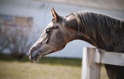 Portrait of a sports thoroughbred stallion Stock Image