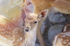 Portrait of Spotted Baby fawn under summer sunlight. Portrait of Spotted Baby fawn under summer sunlight in the zoo paddock Royalty Free Stock Images