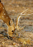 Portrait of spotted deer at Pench Tiger reserve Royalty Free Stock Image
