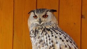 Portrait of a spotted eagle-owl with large yellow eyes stock footage