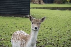 The portrait of spotted fallow deer doe Stock Photography