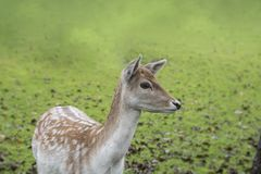 The portrait of spotted fallow deer doe Royalty Free Stock Photo